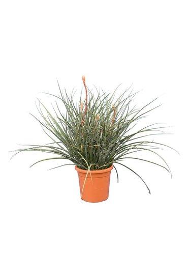 Hesperaloe parviflora pot Ø 32 cm