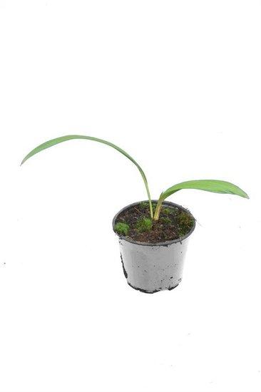 Livistona chinensis - Hauteur totale 40-50 cm - pot Ø 13 cm
