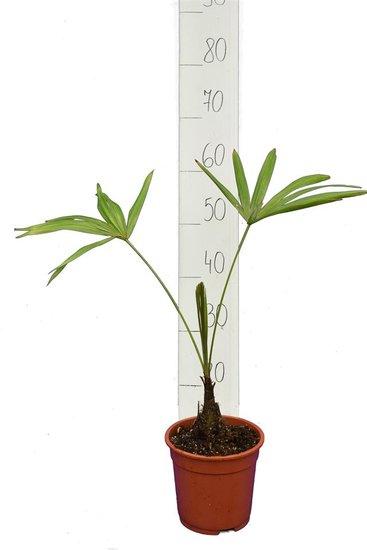Trachycarpus latisectus - tronc 5-15 cm - Hauteur totale 60-80 cm - pot Ø 17 cm