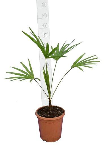 Trachycarpus latisectus - tronc 5-15 cm - Hauteur totale 80-100 cm - Ø 26 cm pot