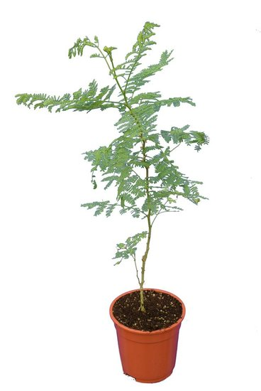 Caesalpinia gilliesii Hauteur totale 60+ cm - pot Ø 17 cm