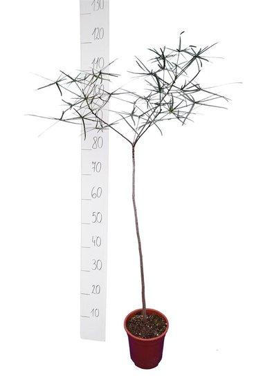 Brachychiton rupestris Hauteur totale 110-130 cm - tronc 60 cm - pot Ø 17 cm