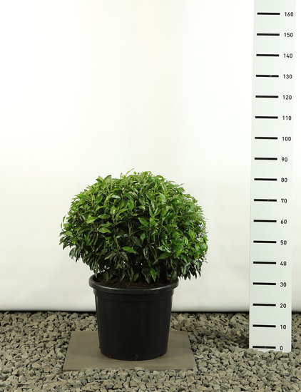 Prunus angustifolia Globe 60-80 cm