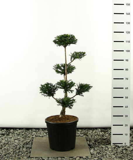 Taxus baccata Multiplateau - Hauteur totale 125-150 cm