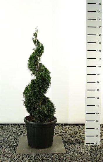 Thuja occidentalis smaragd emerald spirale totale hoogte 125-150 cm