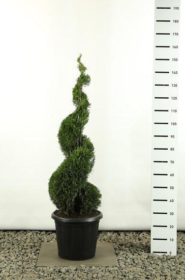 Thuja occidentalis Smaragd Spirale - Hauteur totale 125-150 cm