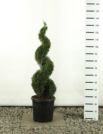 Thuja occidentalis Smaragd Spirale - Hauteur totale 100-125 cm
