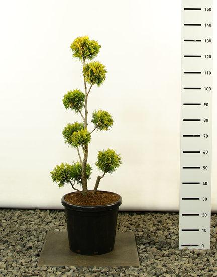 Thuja occidentalis Yellow Ribbon Multibol - Hauteur totale 100-125 cm