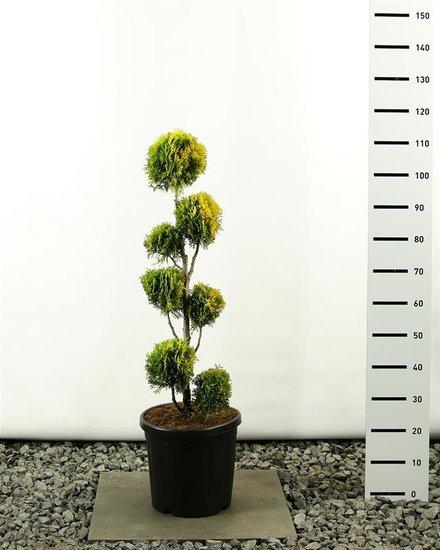 Thuja occidentalis Golden Smaragd Multibol - Hauteur totale 100-125 cm