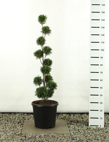 Thuja occidentalis Golden Smaragd Multibol - Hauteur totale 125-150 cm