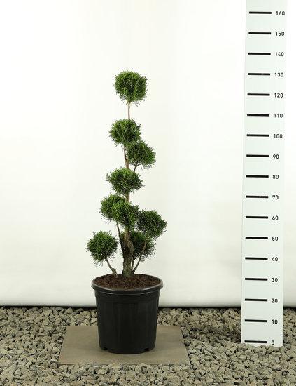 Thuja occidentalis Golden Smaragd Multibol - Hauteur totale 80-100 cm