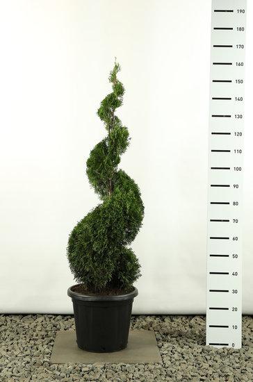 Thuja occidentalis Smaragd Spirale - Hauteur Spirale 150-170 cm