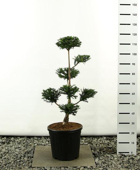 Taxus baccata Multiplateau - Hauteur totale 80-100 cm