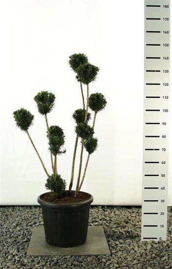 Taxus media Hicksii Multibol - Hauteur totale 100-125 cm