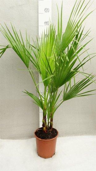 Washingtonia robusta Multistam pot Ø 22cm - hauteur totale 80-100 cm