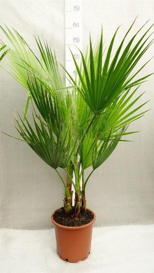 Washingtonia robusta cespiteux pot Ø 26cm - hauteur totale 120-140 cm