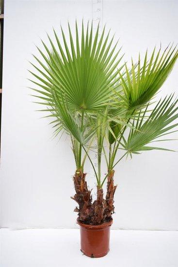 Washingtonia robusta cespiteux pot Ø 35cm -hauteur totale 140+ cm