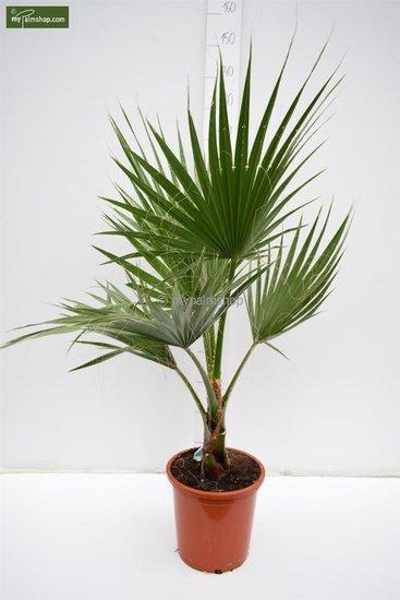 Washingtonia robusta pot Ø 26 cm - hauteur totale 100-130 cm