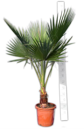 Washingtonia robusta tronc 20-30 cm - pot Ø 32 cm - hauteur totale 150-180 cm