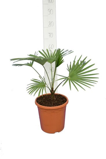 Trachycarpus princeps blue-silver Hauteur totale 50-70 cm