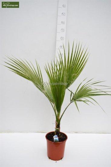 Washingtonia robusta pot Ø 22 cm - hauteur totale 80-100 cm