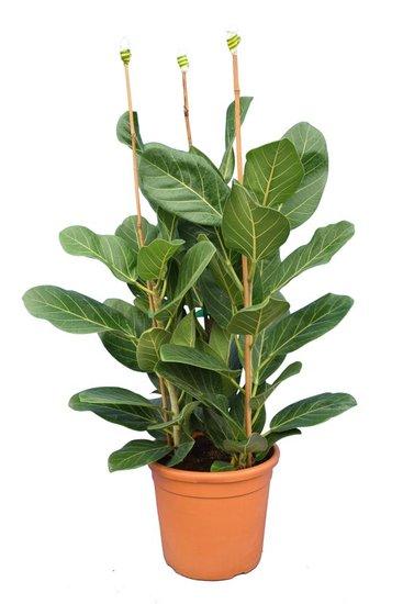 Ficus elastica Beghalensis pot Ø 28 cm