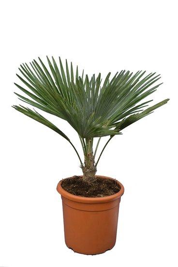 Trachycarpus princeps hauteur totale 60-80 cm