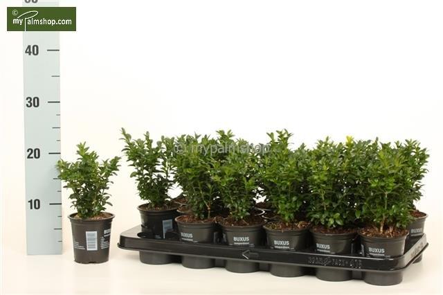 Buxus sempervirens Haie 0,5 Ltr. pot