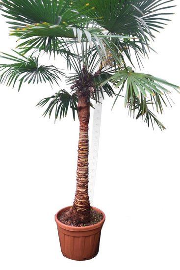 Trachycarpus fortunei Stripped trunk tronc 120-140 cm