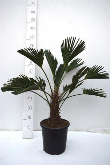 Trachycarpus wagnerianus tronc 20-30 cm - Hauteur totale 90-100 cm