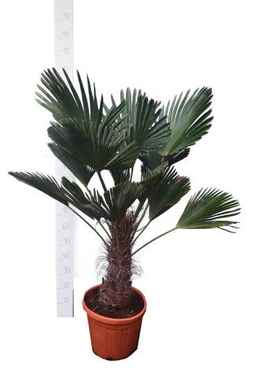 Trachycarpus wagnerianus tronc 30-40 cm