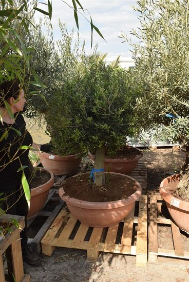 Olea europaea forme sphérique hauteur du tronc 60-80 cm Circumférence 35-45 cm