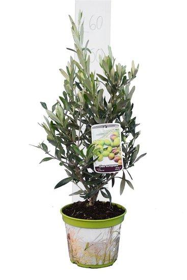 Olea europaea arbuste pot Ø 18 cm