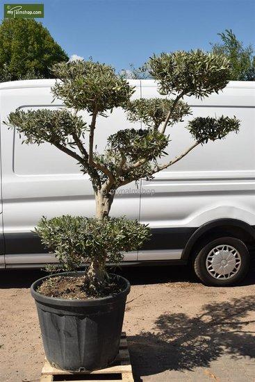 Olea europaea Bonsai 170 ltr