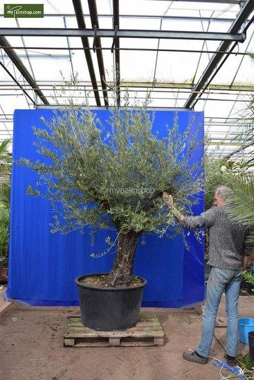 Olea europaea Bonsai pot Ø 95 cm
