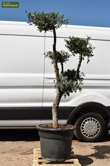 Olea europaea Bonsai pot Ø 55 cm