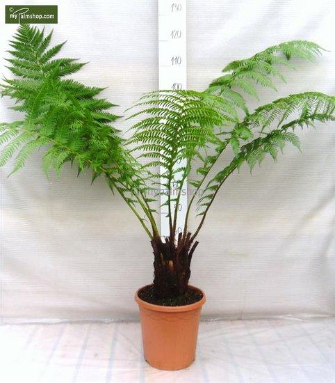Dicksonia antarctica tronc 5-10 cm
