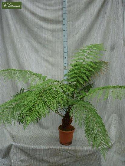 Dicksonia antarctica tronc 20-30 cm