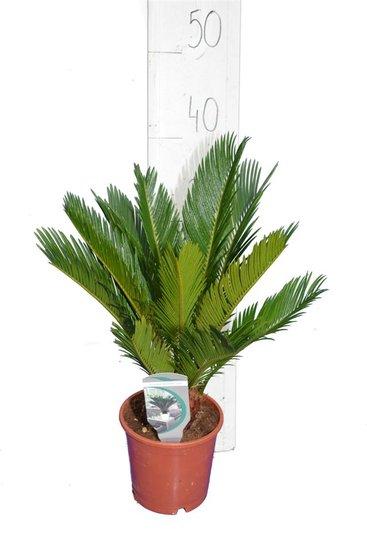 Cycas revoluta pot Ø 14 cm - hauteur totale 35-45 cm