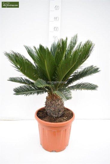 Cycas revoluta tronc 15-25 cm - pot Ø 33 cm - hauteur totale 80-90 cm