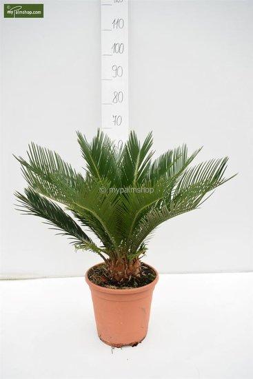 Cycas revoluta pot Ø 24 cm - hauteur totale 55-65 cm