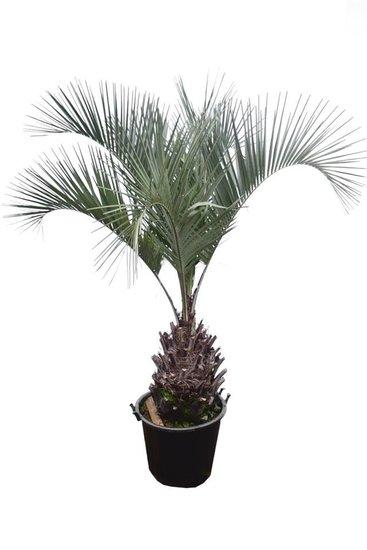 Butia capitata var. odorata tronc 50-70 cm [palette]