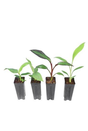 Set de les bananiers 0,7 ltr (Musa basjoo, Musa sikkimensis Red Tiger, Musella lasiocarpa, Ensete maurelli)