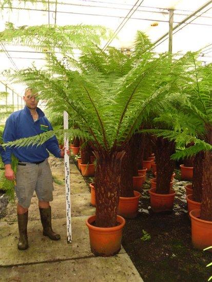Dicksonia antarctica tronc 100-110 cm [palette]