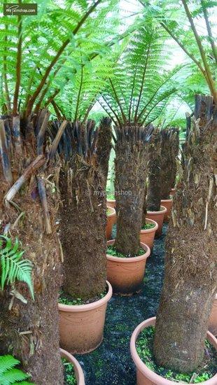 Dicksonia antarctica tronc 130-150cm - Hauteur totale 270+ cm [palette]