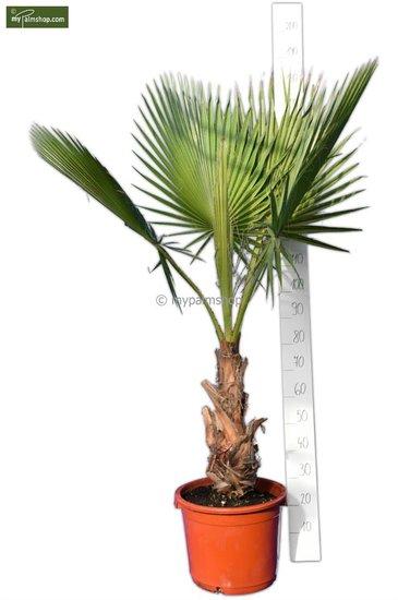 Washingtonia robusta tronc 40+ cm - pot 40 Ø cm - hauteur totale 160-180 cm [palette]