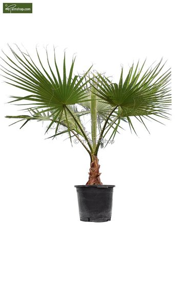 Washingtonia robusta tronc 30+ cm - pot Ø 45 cm - hauteur totale 160+ cm [palette]