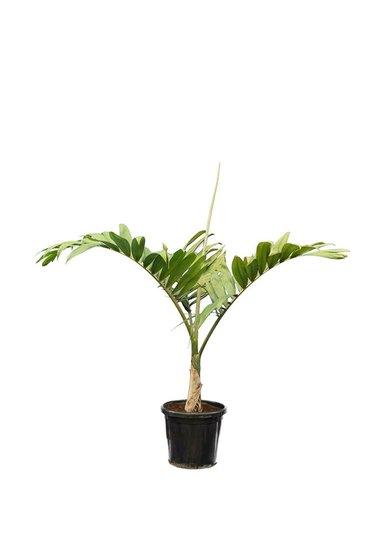 Chambeyronia macrocarpa pot Ø 40 cm [palette]