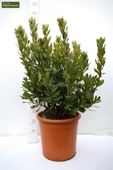 Arbutus unedo Ø 40 cm pot [palette]