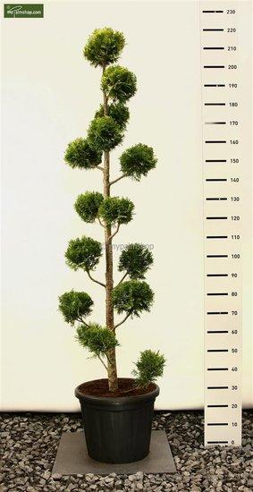 Chamaecyparis lawsoniana 'Ivonne' MULTIBOL - 200+ cm [palette]